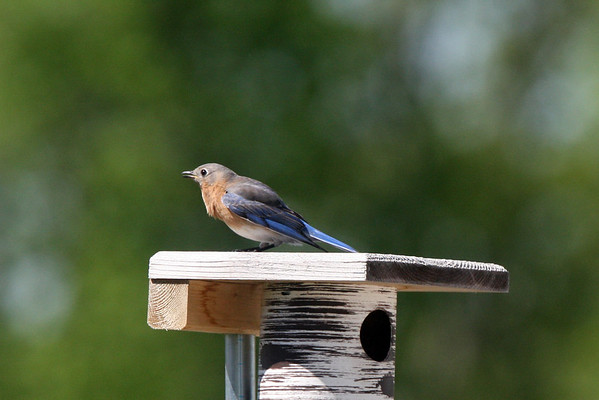 Tree Swallows vs BBF