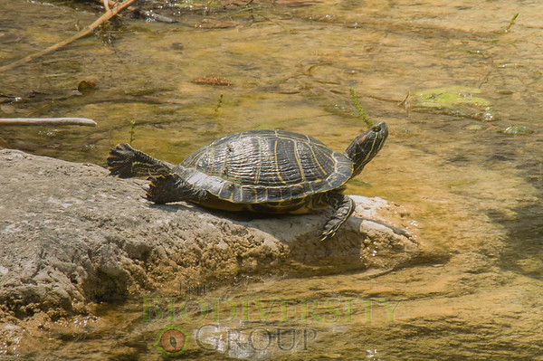 Freshwater and Box Turtles