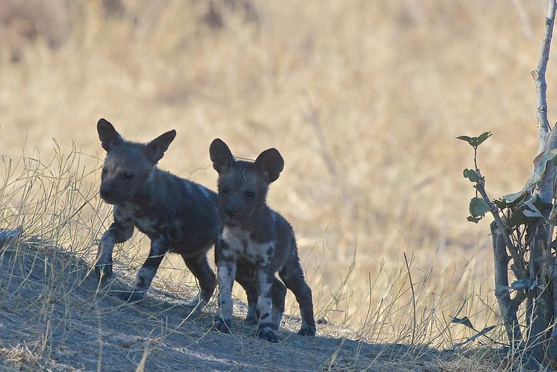 African wild dog pups, Kwando Lagoon, Botswana