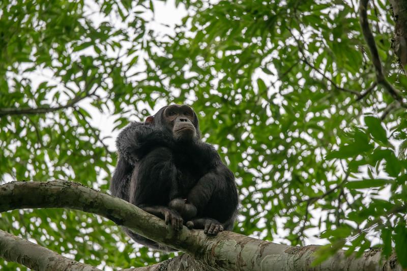 Uganda_T_Chimps-1019.jpg