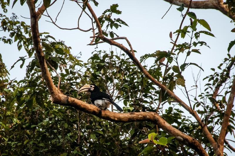 BIRD - pied hornbill 1-0632.jpg