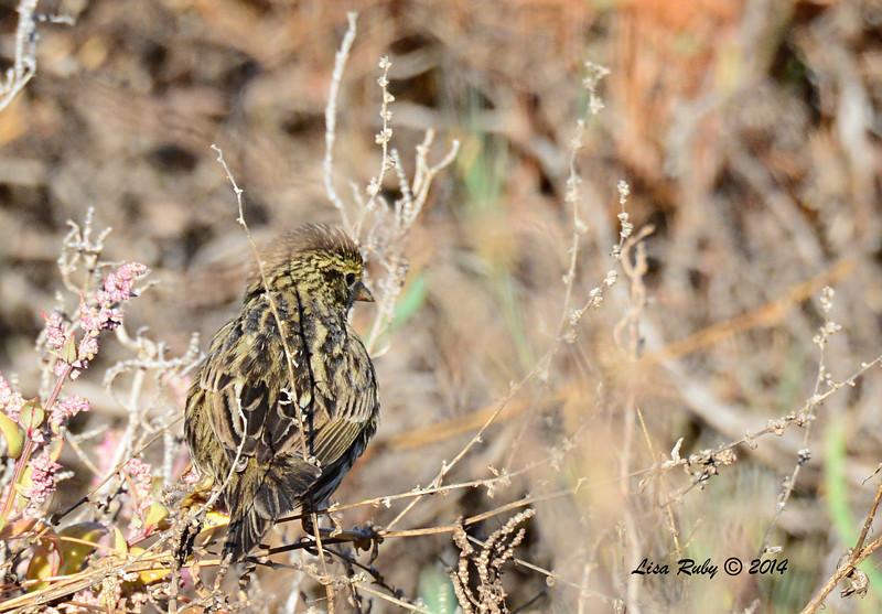 Savannah Sparrow - 2/1/14 - North Rios Trail San Elijo Lagoon