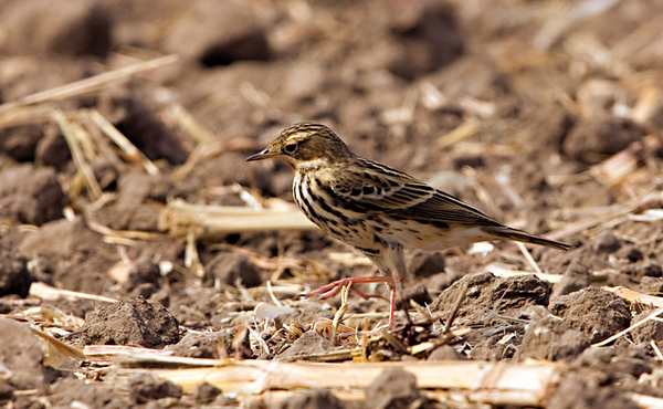 Red-throated Pipit 2 Northern cost Israel_12.06_Bartov.jpg