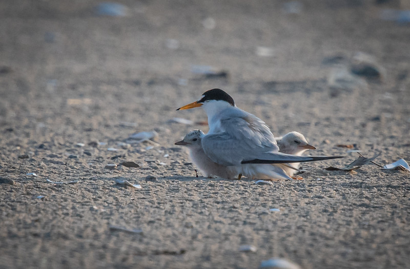 Least Tern mom + 2