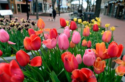 Photos: Pearl Street Mall Tulips