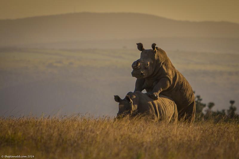 Save-the-rhinos-1.jpg