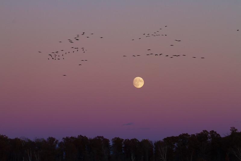 Sandhill Crane full moon fly in flight Crex Meadows Grantsburg WI IMG_2046.jpg