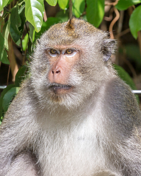 Koh Chang Macaque