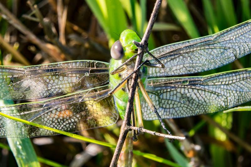 green-darner-dragonfly-ohio-profile-spingfieldBog2.jpg