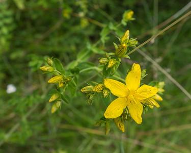 Hypericaceae Johannesörtväxter