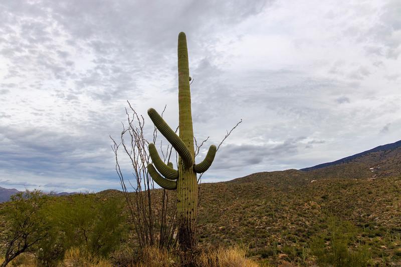 An Octotillo & Saguaro Squabble