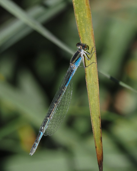 Familiar Bluet, female