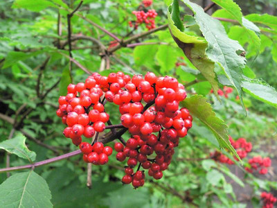 Red Berry Elder
