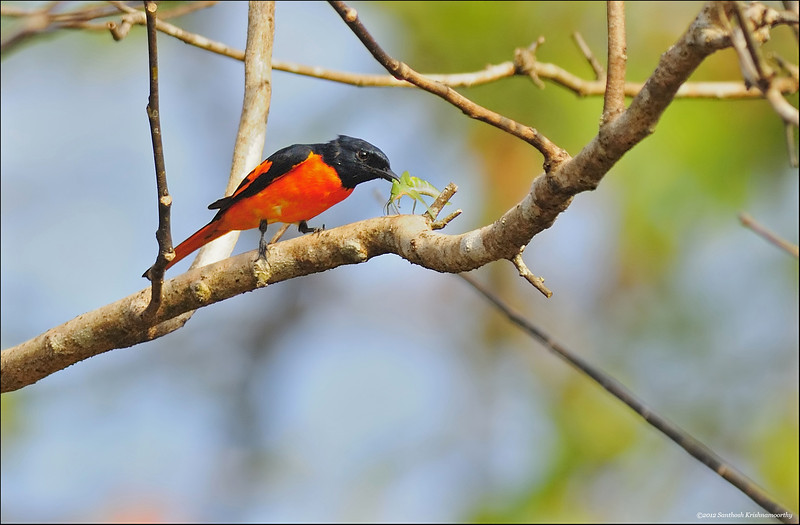 Scarlet/Orange Minivet with a grasshopper catch....