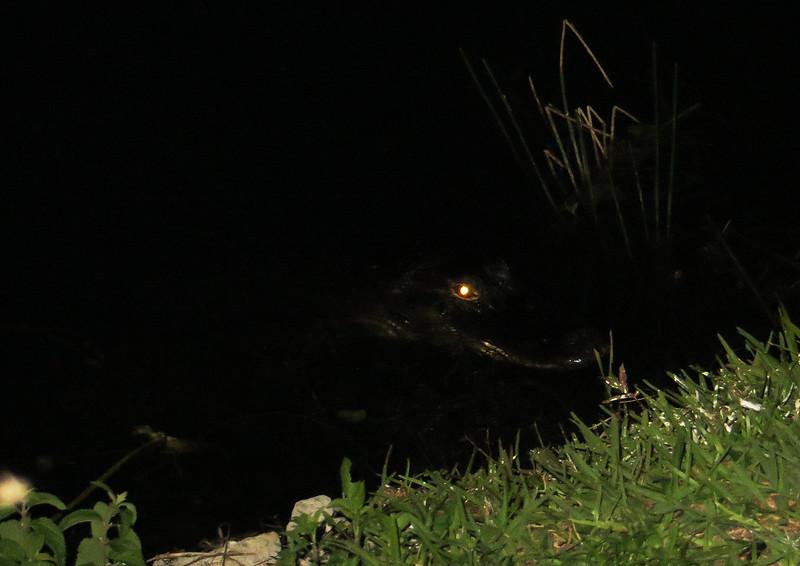 aIMG_1363 Alligator near trail, Anahinga Trail EvG.jpg