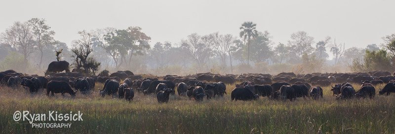 There were at least 500 buffalo in this herd. And the flies went for miles...no joke.