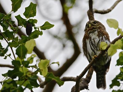 Cape Pygmy Owl (Glaucidium hoskinsii)