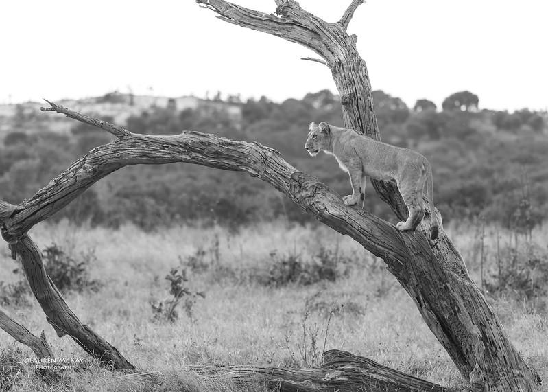 African Lion, b&w, Savuti, Chobe NP, Botswana, May 2017-20.jpg