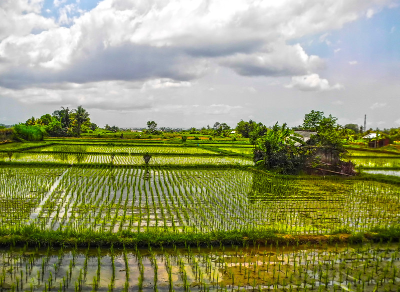 Rice Paddies-9.jpg