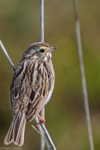 Savana Sparrow