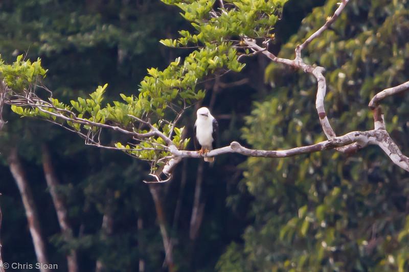 White Hawk at La Escalera including Tunnel Area, Tarapoto, Peru (07-03-2010) 128.jpg