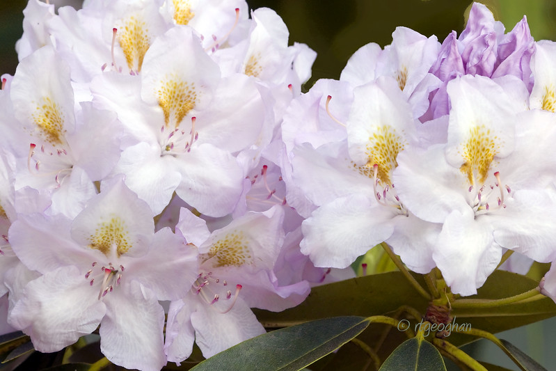 Flowering Shrubs_Rhododendron_0048.jpg