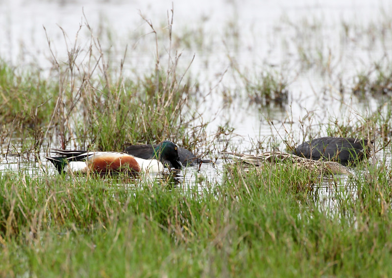 A Northern Shoveler with American Coots and a brown duck