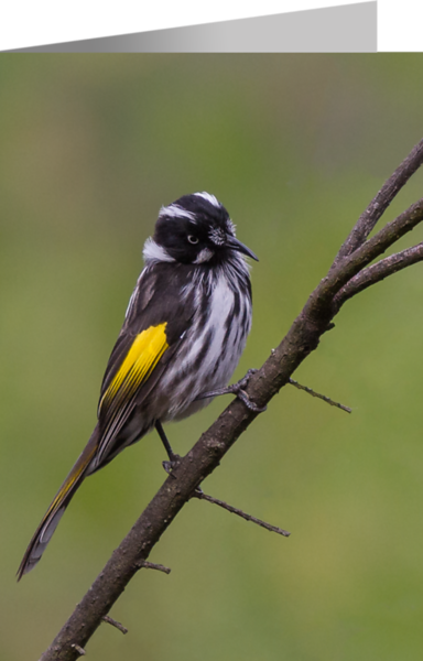 New Holland Honeyeater2.png