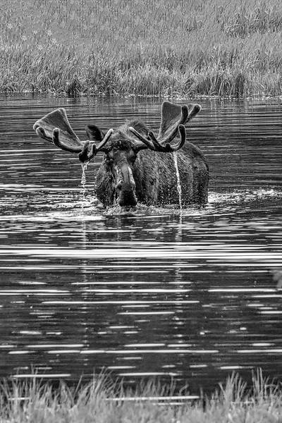 Moose 2,  Denali National Park