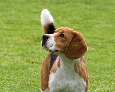 RHKC 2011 - Beagles 13 Inch