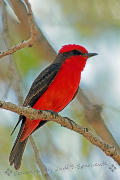 Vermillion Flycatcher ~ This male Vermillion Flycatcher was photographed at Covington Park, next to Big Morongo Canyon Preserve in Southern California.  I watched while he caught insects and fed them to his babies in the nest.