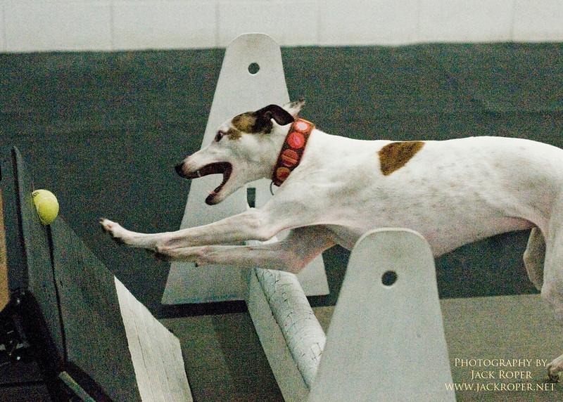 Dog race-Fly Ball..jpg