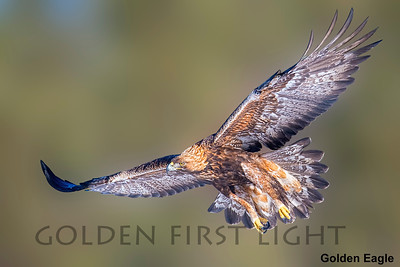 Golden Eagle, Oulu, Finland