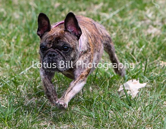Brindle French Bulldog DH