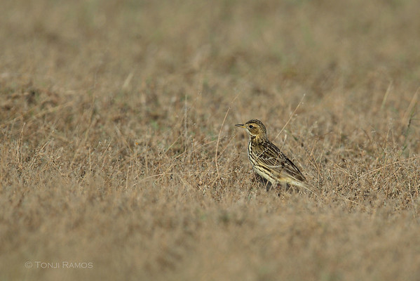 Red -throated Pipit