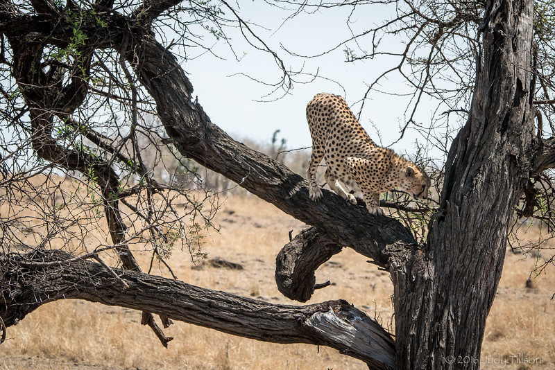 Tanzania Cheetah-9172.jpg