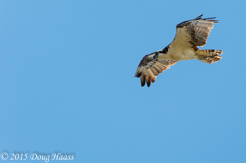 Osprey Pandion haliaetus male