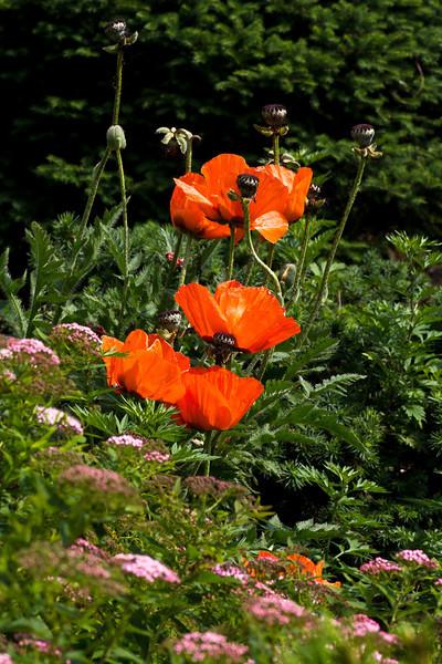 meadowlark-19_May 29, 2011.jpg