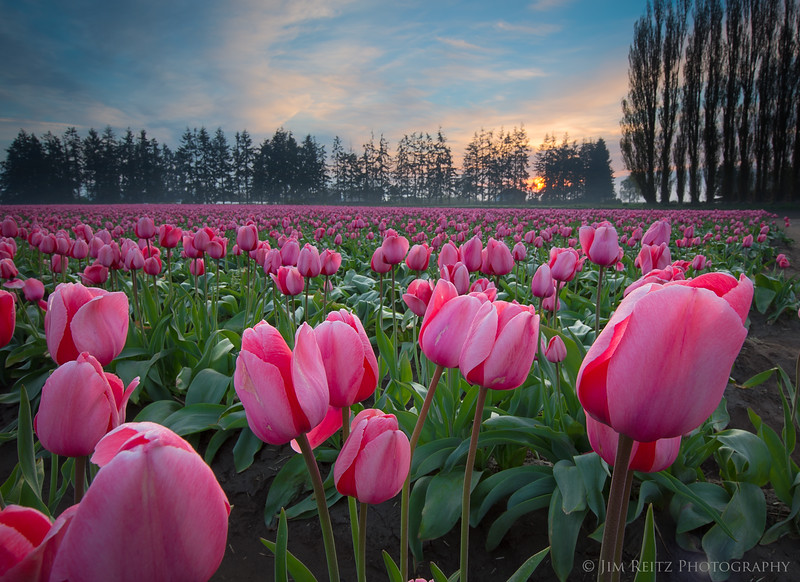 Skagit Valley Tulip Festival, near La Conner, Washington