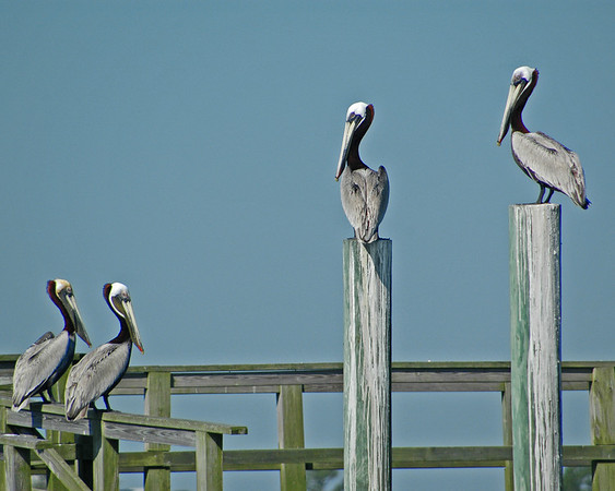 Brown Pelican, Kiawah