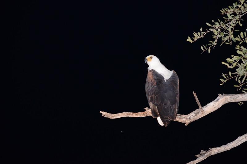 79 - African Fish Eagle - Chitabe - Anne Davis