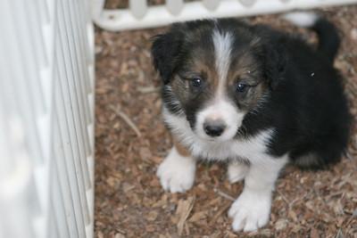 Hope x Mike 07 pups - 6 wks