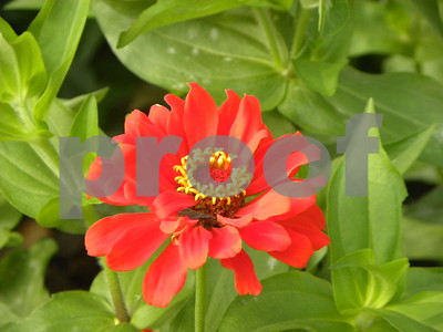 colorful-zinnias-can-take-the-heat
