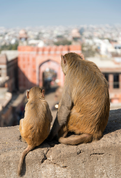 Monkeys near Galta Gate, Jaipur, India