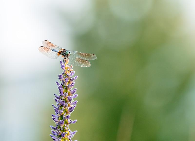 133 Aug 13 Dragonfly-1.jpg