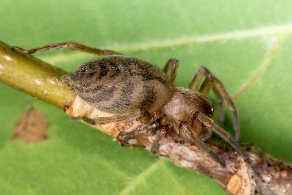 Elaver excepta - White sac spider (USA)