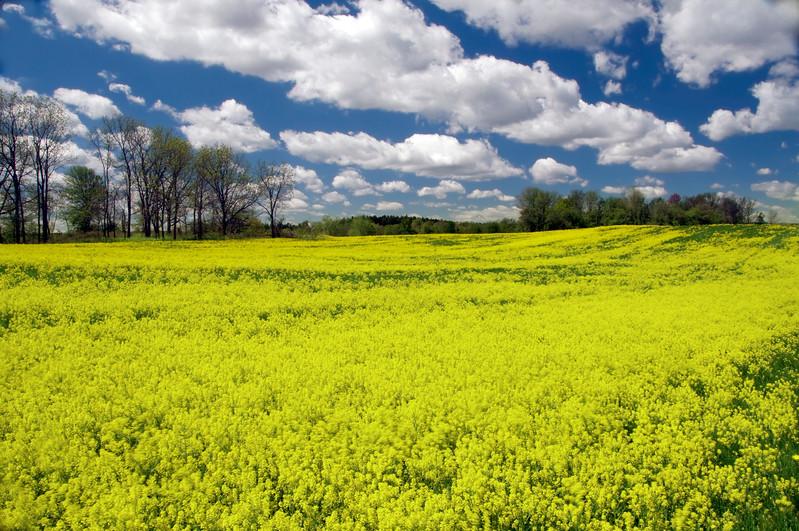 inv #12 midday mustard field.jpg
