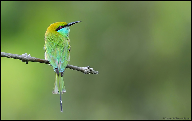 Green Bee eater.....