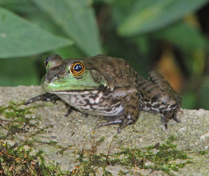 Frog with green mustache