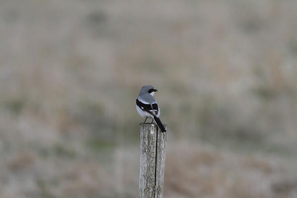 Passerines(Songbirds)